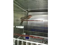 cage bred mexican house finches for sale