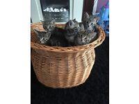 3 Egyptian mau cross kittens left!!!