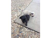 2 boy pug puppies left