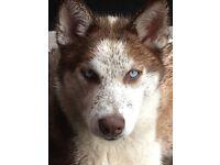Husky girl 8 months old