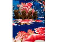 Miniature poodle red puppies