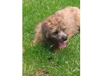 Various border terriers for sale