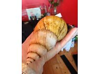 2 adult Giant African Snails