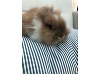 Baby male lionhead rabbit READY NOW