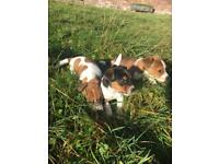 Beautiful Male Jack Russell Puppies