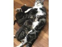 4 Beautiful Tabby Kittens