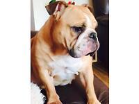 KC female British bulldog