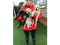 Used, Chunky broad head chocolate & golden yellow Labrador puppies for sale  Sittingbourne, Kent
