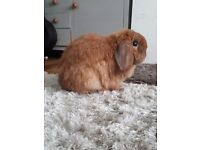 Lovely Male Lop two years (neutered)