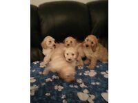 Beautiful cockapoo pups