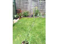 Verbena Plants for sale