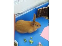 Rabbit for sale + Cage