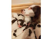 Gorgeous english Springer spaniel puppies for sale