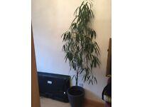 BEAUTIFUL 7FT INDOOR PLANT