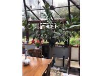 Ficus Elastica rubber tree plant.