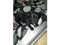 KC Registered Black Pug Puppies