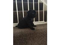 KC REG BLACK PUG PUPPIES FOR SALE