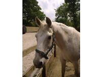 Family pony for full time share near Brighton