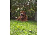 Rottweiler cross looking for loving home