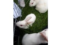 Albino netherland dwarf baby rabbits