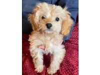 Stunning toy Cavapoo puppy