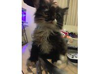 Cute Persian mix kittens