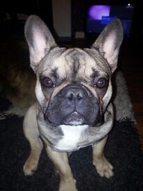 Beautiful 11 month old french bulldog for sale