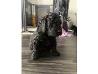 Black Cockapoo Puppies for Sale F1B