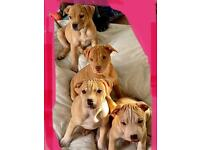 Cross Bulldog puppies for sale