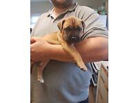 Dogue de bordeaux cross mastiff puppies for sale