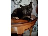 Lovely female kitten