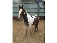 17hh Irish sports horse for sale