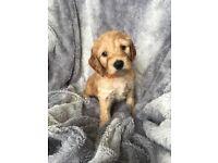 Cockapoo F1B Pups For Sale
