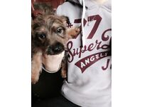 Two terrier bitches for sale