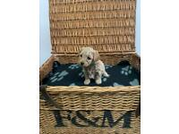 Poochon puppy's ready to leave now 2 girls available (like Cockapoo caverpoo)