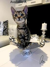 Stunning female kittens ready (0nly 1 A left)