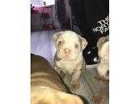 Male Lilac Merle Bulldog