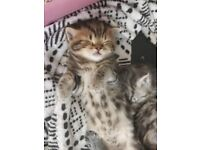 BRITISH SHORTHAIR X MAINECOON KITTENS only 1girl left available to reserve