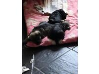 Miniature schnauzer pups KC Reg For Sale