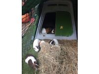 awaiting collection, Guinea Pigs, female pair, £10, SE21