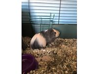 Young Male Guinea Pig Needing Loving Home