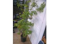 Acer 'Katsura' Palmatum, Japanese Maple