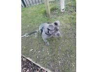 Mini bulldog pup 8 months old