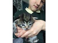 Beautiful bengal x kittens