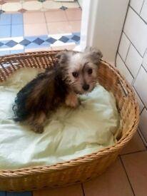 Chinese Chrested Powderpuff / yorkshire terrier