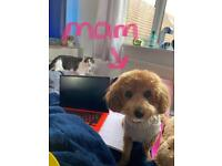 Poochon pups for sale