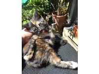 MIXED TORTIE FEMALE KITTEN CAT READY NOW