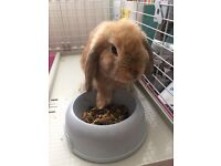 Friendly female ginger Mini lop rabbit with cage and accessories