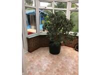 Money Tree For Sale
