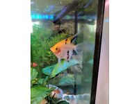 3 Angel Fish Tropical